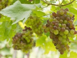 Cepage-chasselas-vin