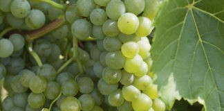 cepage-Chardonnay-vin