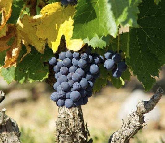 cepage-Grenache-vin