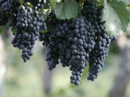 cepage-Malbec-vin