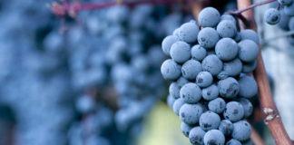 cepage-cinsault-vin